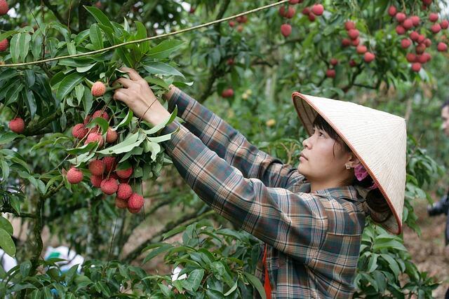 Vietnamese lychee vai thieu vietnam