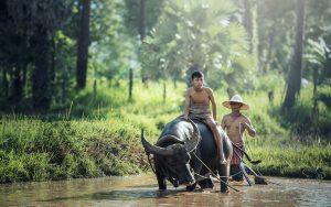 water buffalo, riding, farm-1807517.jpg